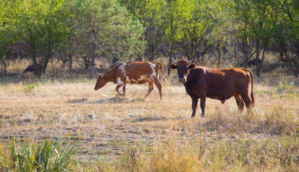 Порча на корову