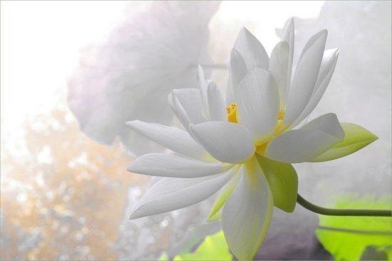 Символ буддизма лотос и его значение